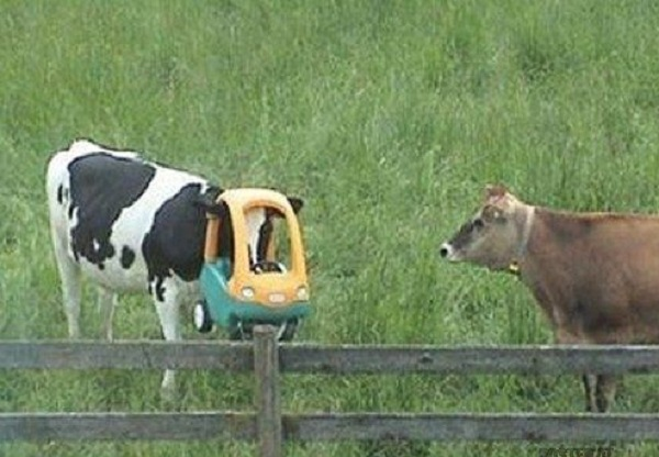 Unlucky Cow With its Head Stuck