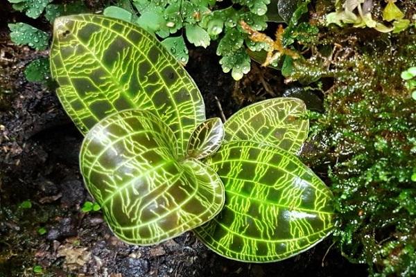Jewel Orchid Leaves