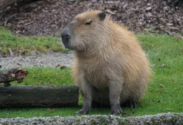 Did you know you can have a Capybara as a pet?