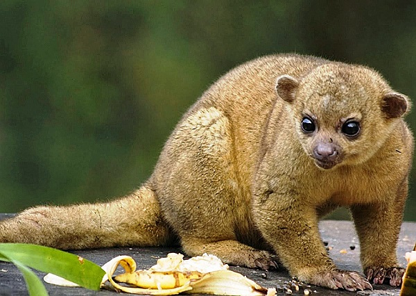 Did you know you can have a Kinkajou as a pet?