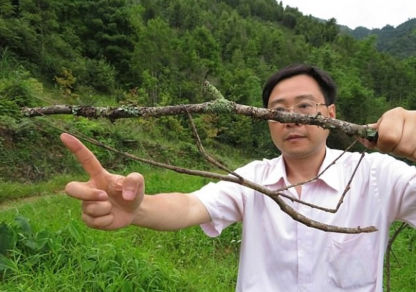The World's Largest Stick Insect
