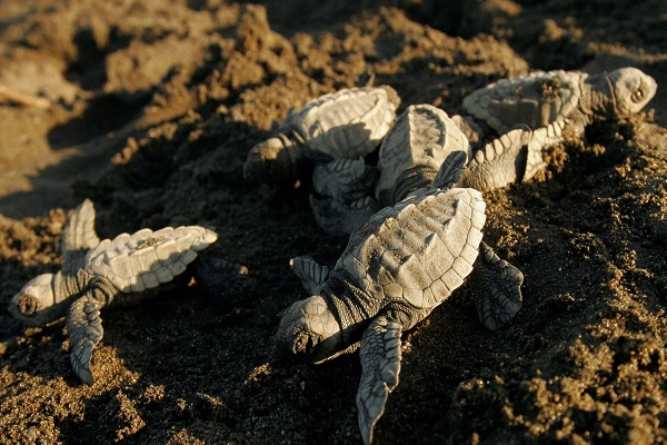 Record Hatching of The Endangered Olive Ridley Turtles in Mexico
