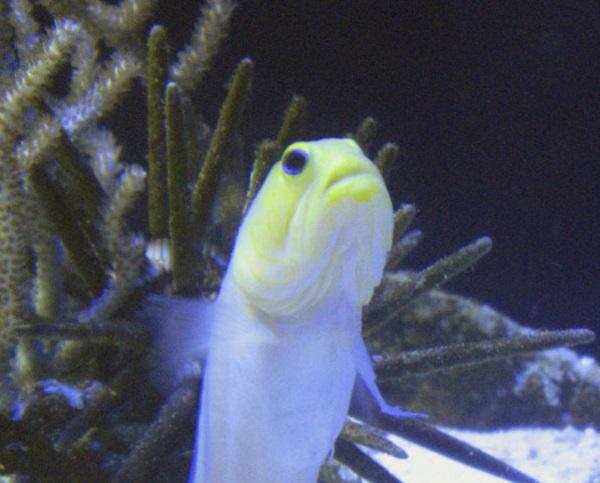 Mouthbrooding Yellow-Barred Jawfish