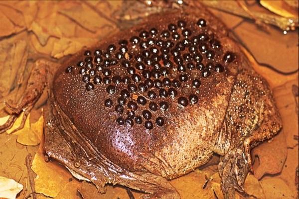 The Surinam Frog