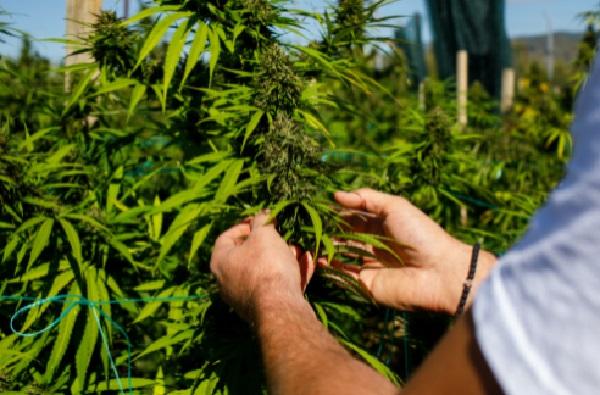 Top 10 Cannabis Grow Ops in Colorado