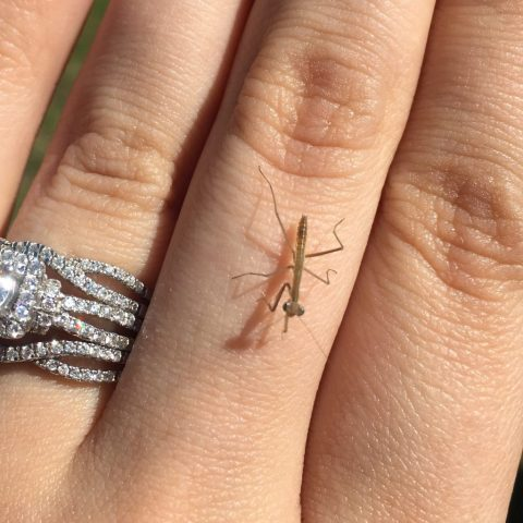 Baby Praying Mantis!