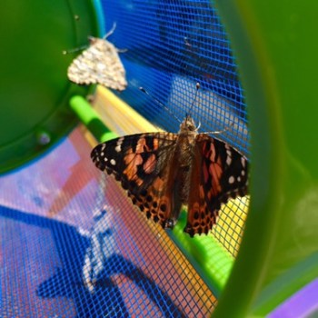 Insect Lore Butterflies