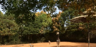 Zoo Atlanta Giraffe