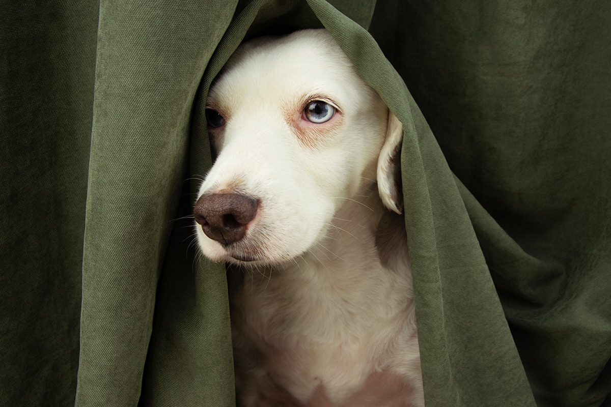 Dog Panic Attack Symptoms, Treatments and Causes