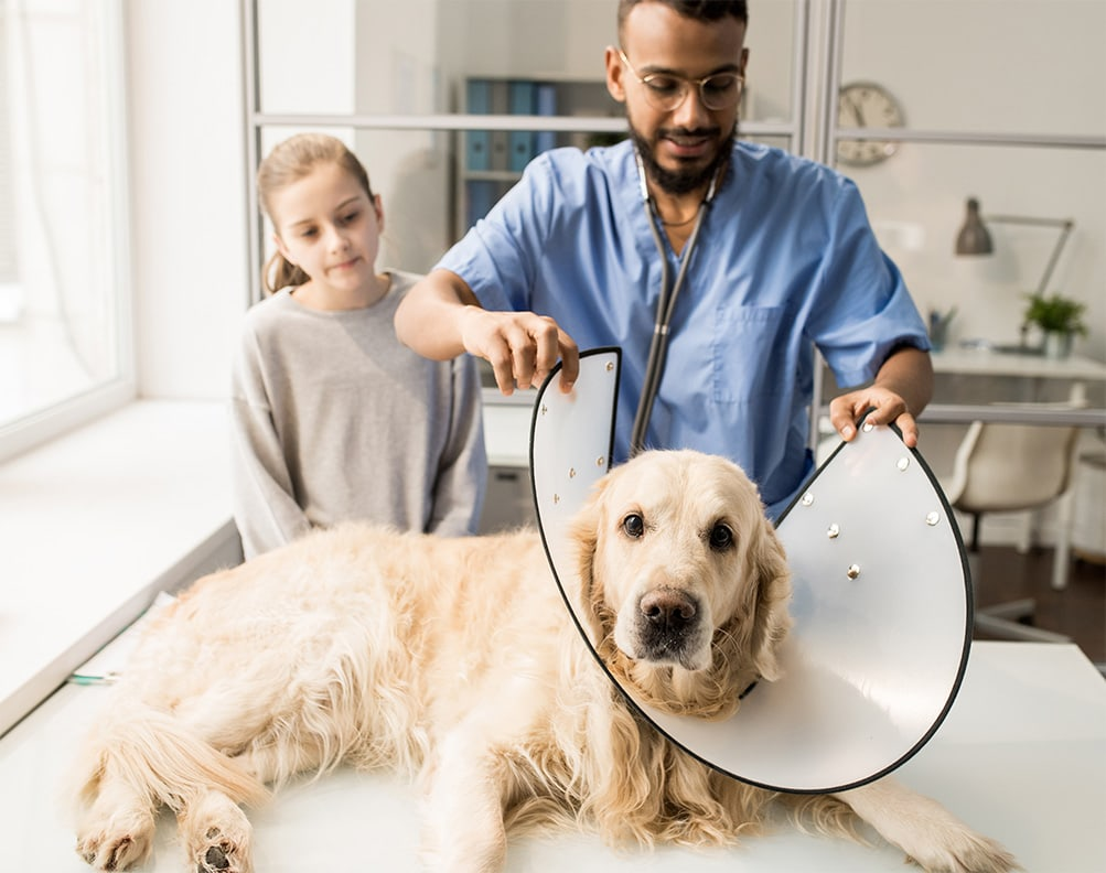 vet putting the collar on a dog