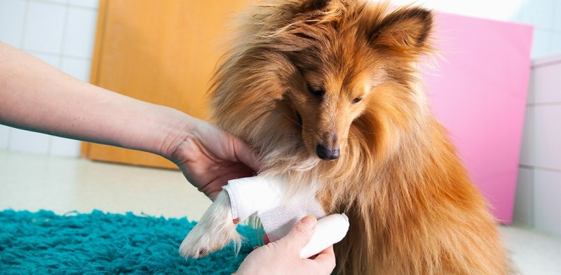Dog Limping: Possible Causes and Solutions from a Vet