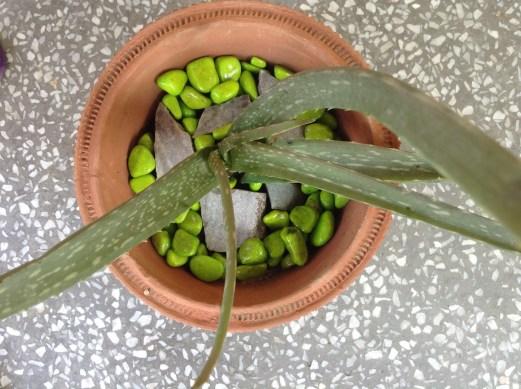 My own Aloe plant :-)