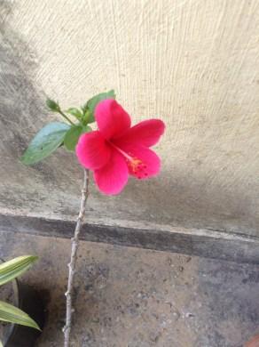 Miniature Hibiscus - A new find