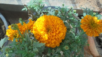My Orange Marigold