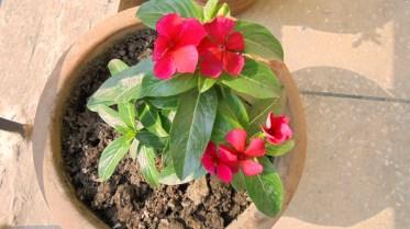 My Red Sadabahar plant