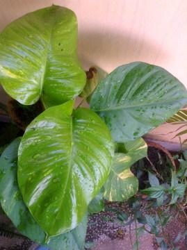 Money Plant/Pothos