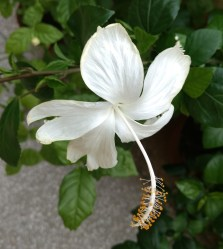 A breathtaking pristine white Hibiscus from my plant