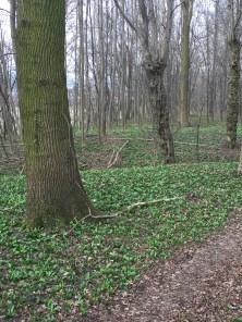 Austrian Woods