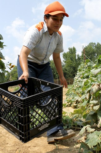"Dixon Springs Impact Incarceration Program Inmate Lebron, who has been at Dixon Springs for the past three and half months, works in the garden picking cucumbers.  Lebron said before arriving at Dixon Springs she had never worked in a garden or had fresh picked produce from a garden before and plans to create a ""mini-garden"" with her daughter when she returns home."