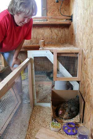 Sue Buchta, who keeps a few dozen chickens on her property in Lick Creek, checks in on a new chick and its mother.  Buchta and her husband Jim care for 25 hens, two roosters, four chicks and three alpacas on their 39 acres of land.  ~ photo by Samantha Healey