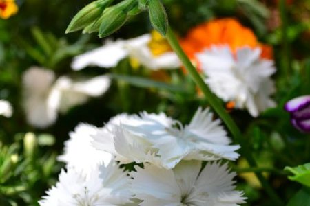 Beautiful flowers 2019 white edible flowers beautiful flowers white edible flowers various pictures of the most beautiful flowers can be found here find and download the prettiest flowers ornamental plants mightylinksfo