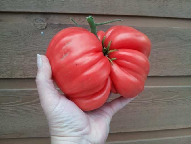 American Artisans SmartSeeds heirloom tomato