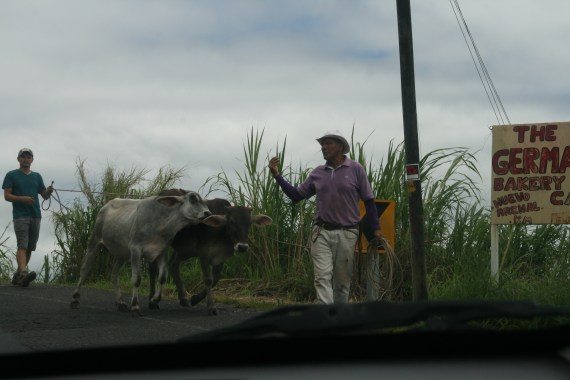 Cows on the street.