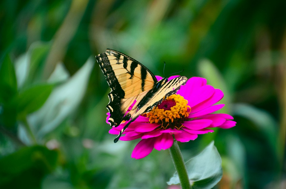 Close up of a Tiger Swallowtail butterfly  on a pink zinna in a garden.