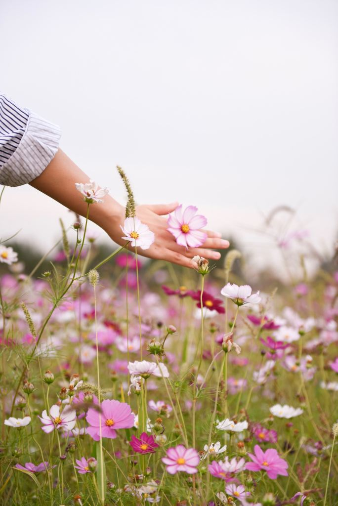 A field of cosmo flowers in full bloom. Womans hand cupping a single flower.