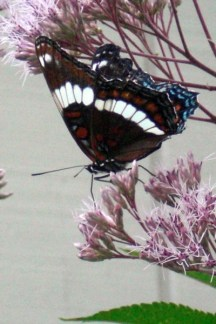 White Admiral Butterfly on Joe-Pye Weed