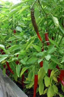 Cayenne peppers. This variety is known as 'Ring-O-Fire.'