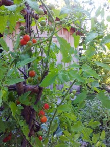One of my favorites is cherry tomatoes. I love to snack on them right there in the garden.