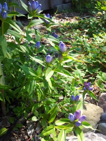 Bottle Gentian, Gentiana andrewsii, can only be pollinated by bumble bees who are strong enough to pry open its closed flowers.