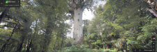 Largest Kauri tree in New Zealand, at Tane Mahuta Waipoua Forest, New Zealand