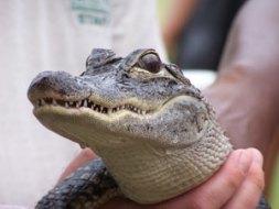 alligatorhead
