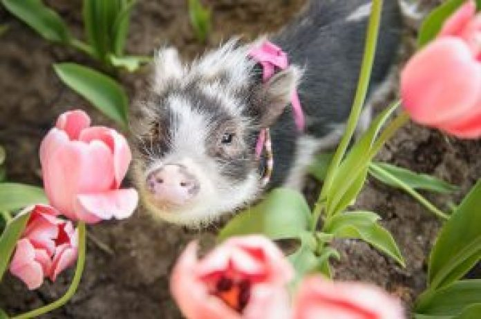 fluffy_the_therapy_pig