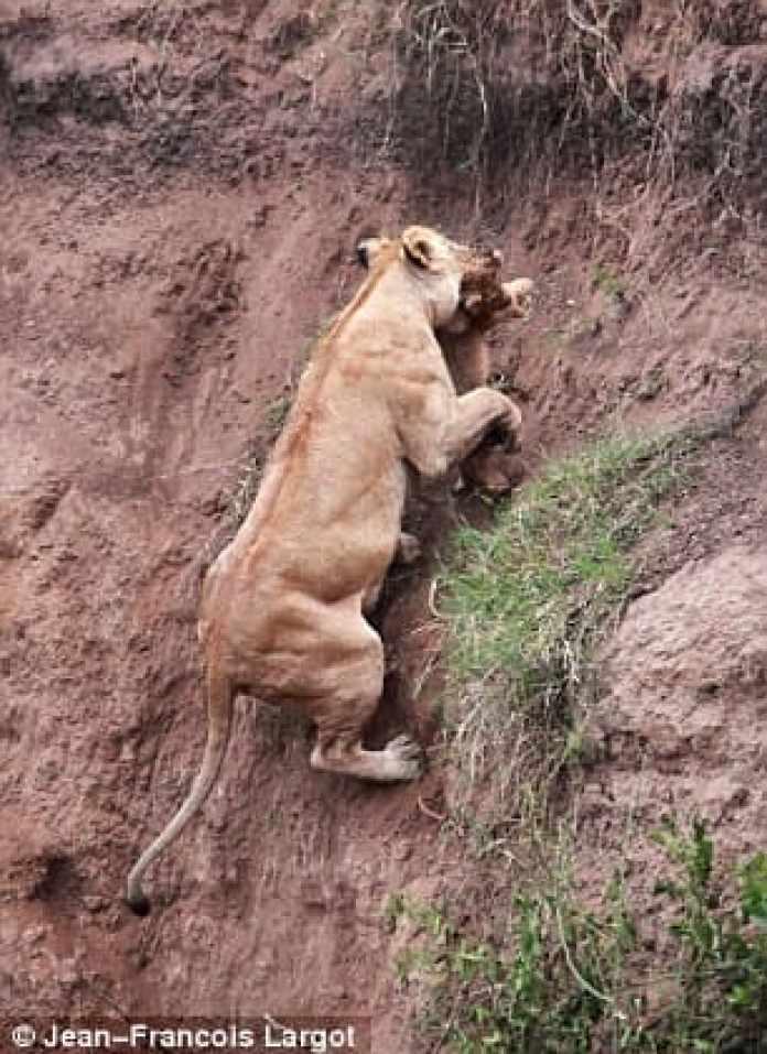 Lioness Rescuing Cub