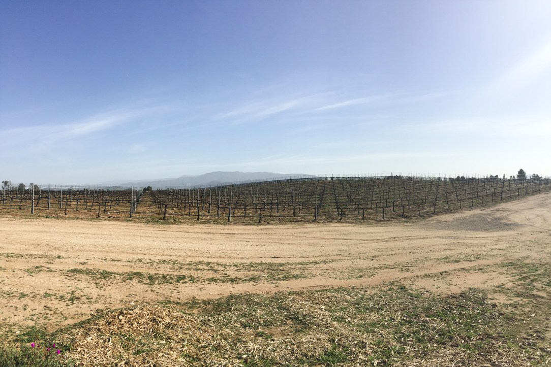 A Temecula vineyard in the winter