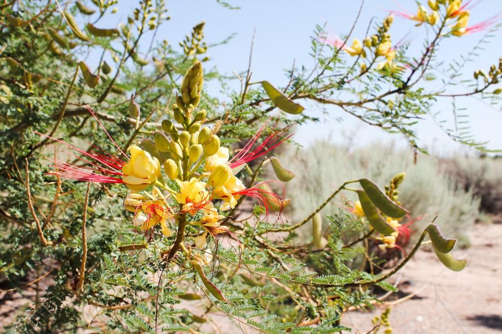Desert flowers in Albuquerque