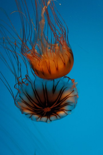 Pacific Sea Nettles
