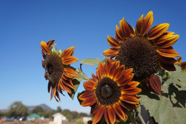 photograph of three sunflowers