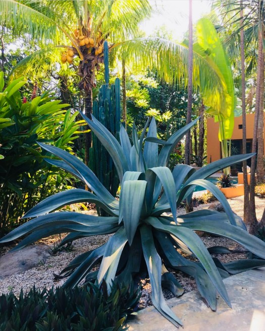 Blue agave plant.