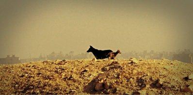 desert dogs