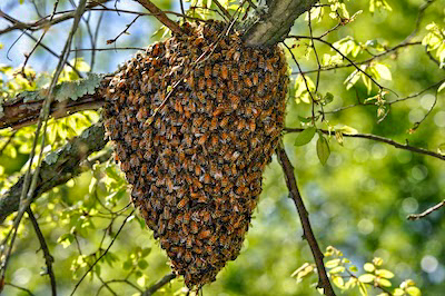 Why do bees swarm and what do worms do?