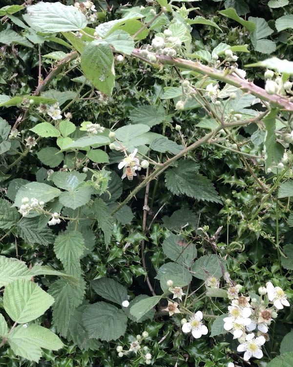Bee foraging on Bramble