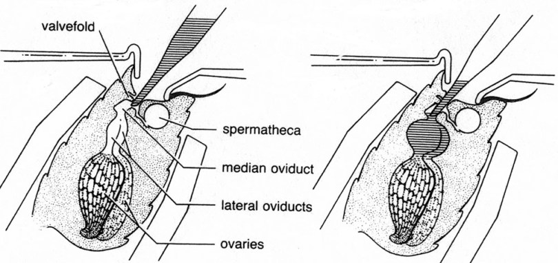 Diagram showing insemination of queen bee