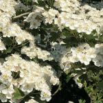 Hawthorne In Flower