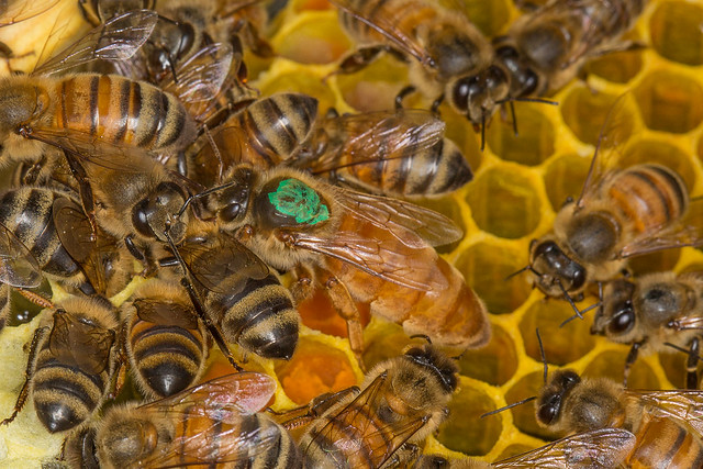 Queen Honeybee marked with a Green Dot