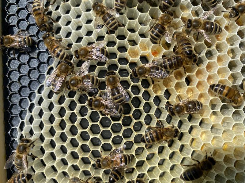 bee eggs on comb