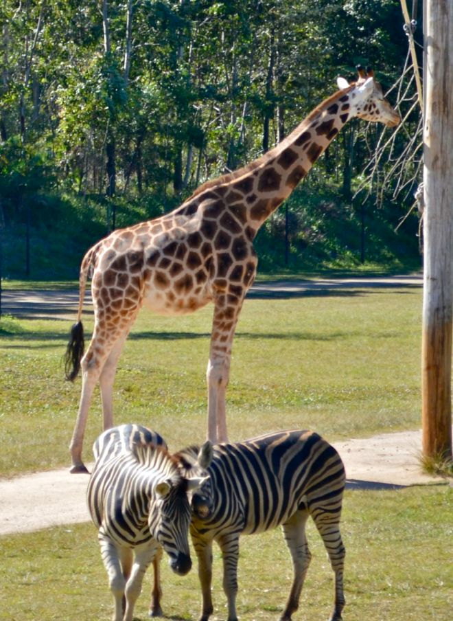 Giraffe and zebras at Australia Zoo